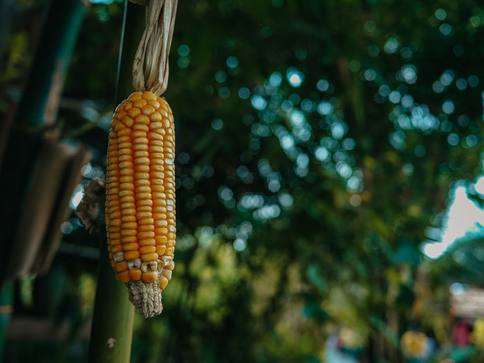 Close-up of corn hanging from plant