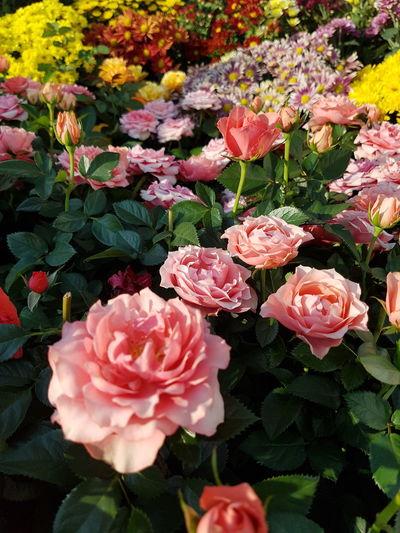 Close up roses. Flower Head Flower Pink Color Petal Leaf Rose - Flower Close-up Plant Botany Blooming Pale Pink