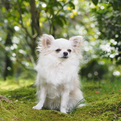 puku♡  Dogs Of EyeEm Green 木漏れ日 Verdure 新緑 Dog 愛犬 お散歩 Chihuahua チワワ