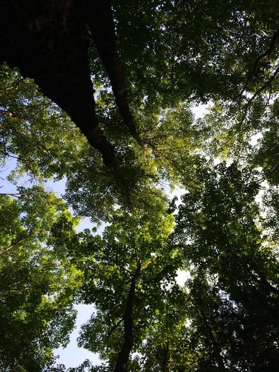 Tree Low Angle View Nature Forest Growth Tree Canopy  Day Tree Trunk Tranquility Branch Green Color Outdoors Beauty In Nature Scenics No People Sky