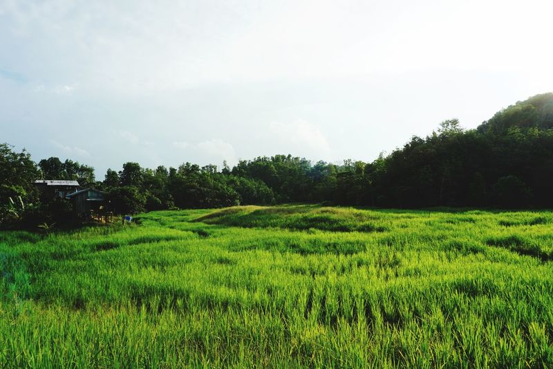 Paddy field Plant Green Color Growth Sky Tree Beauty In Nature Landscape Field Land Nature Tranquility Scenics - Nature Day No People Tranquil Scene Environment Rural Scene Outdoors Agriculture Crop