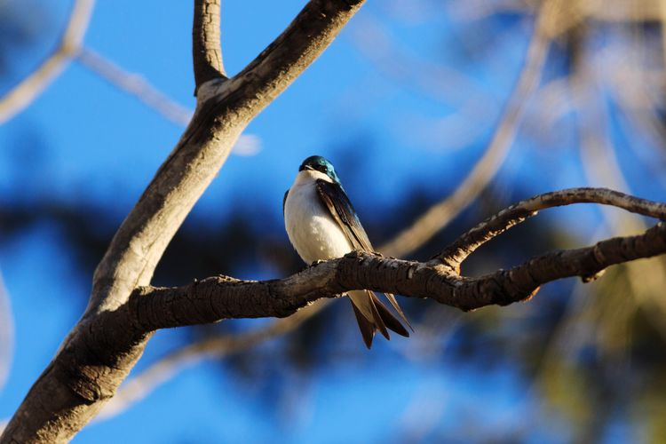 tree swallow on a branch Bird Bird Photography Wildlife Utah Tree Swallow Animal Branch Tree Animal Themes Perching