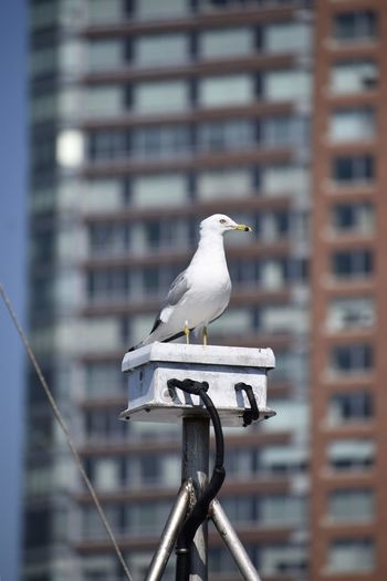 Seagull perching on railing against buildings