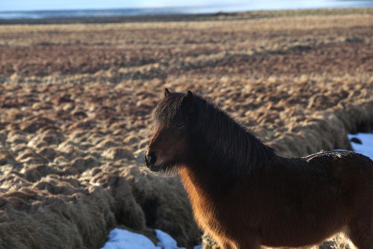 Icelandic horse standing on sand