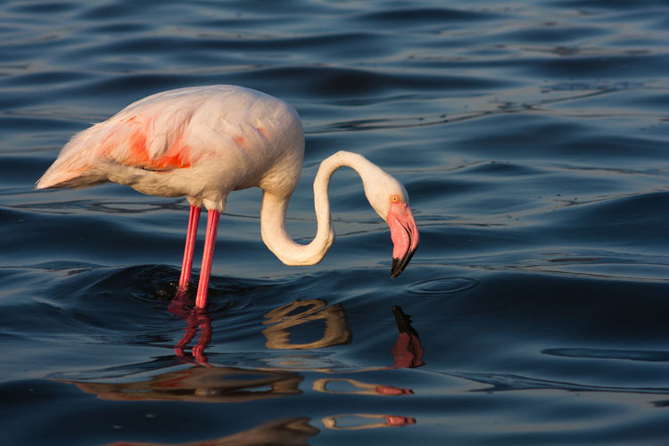 Side view of flamingo in pond at mount st helens