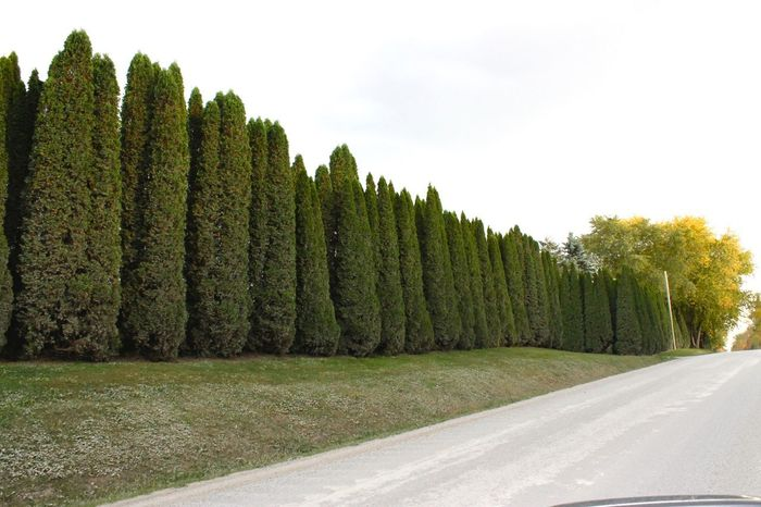 Row of trees If Trees Could Speak Iftreescouldspeak Day Green Color Green Trees Growth Landscape Nature No People Outdoors Row Of Trees Scenics Sky Tree