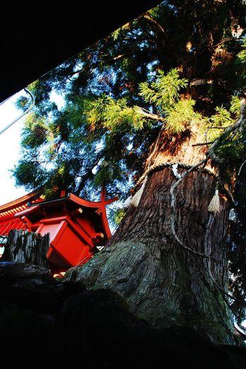 Nara,Japan Traveling 春日大社 Tree