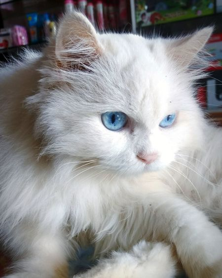 Pets Domestic Animals Domestic Cat Animal Themes Mammal One Animal Cat Photography Looking At Camera Catslover Whitecat Kittens Eye For Photography Whitewater Kayaking Portrait No People Indoors  Day Close-up Pet Portraits