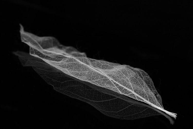 Refinement in black-and-white Canon Sl2 200D 1855mm Leaf Dark Background Darkbackground Reflection Refinement Indoors  Blackandwhite Blackandwhitephotography Monochrome Black Background Science Close-up Refraction Biology
