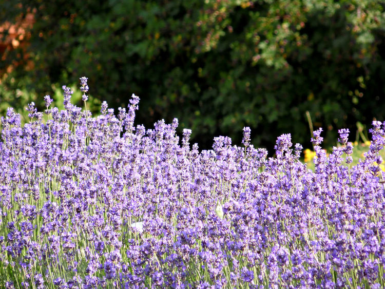 Lavender Field Beauty In Nature Close-up Day Field Flower Flower Head Focus On Foreground Fragility Freshness Growth Lavender Nature No People Outdoors Plant Purple Tree In Bloom Blossom Botany