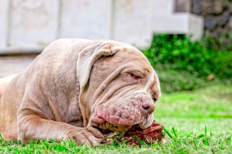 Neapolitan Mastiff Young Dog Lying On A Green Lawn Happily Chewing A Large Raw Bone Held Between Its Front Paws Animal Themes Close-up Day Dog Dog Love Dogoftheday Dogs Dogs Of EyeEm Dogstagram Domestic Animals Female Dog Grass Italian Mastiff Mammal Mastiff Neapolitan Mastiff Neo No People One Animal Outdoors Pets Raw Raw Food Rawvegan Relaxation