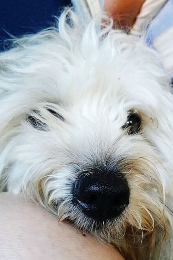 Hi! I am Spank 🐶🐕Pets One Animal Domestic Animals Animal Themes Dog Indoors  Close-up Looking At Camera Portrait Animal Head  Front View Animal Hair Mammal Snout Loyalty Pampered Pets Hairy  No People Zoology Animal Nose Pretty Animals_collection Best Seller EyeEmBestPics First September