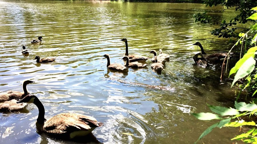Animals In The Wild Bird Water Lake Animal Themes Animal Wildlife Nature No People Outdoors Swimming Large Group Of Animals Black Swan Day Swan Beauty In Nature Duckling Ducklings Duck Family Ducks At The Lake Ducks Lake View Water Reflections утки Summer лето