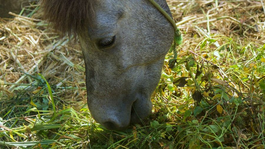 Close-up of horse grazing in field