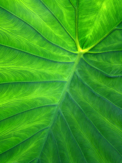 """An abstract of a HUGE caladium leaf - these are caled """"Elephant Ears"""" because of their shape and sixe Abstract Botany Caladium Close-up Detail Elephant Ears Full Frame Garden Geometry Gr Growth Leaf Leaf Vein Macro Monochrome Natural Pattern Plant Softness"""
