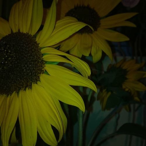 Flower Colors Sunflower Nature beautiful dark instagood loveit summer