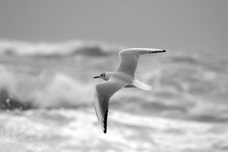 Seagull flying in the sea