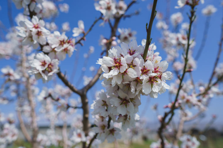 Flowering Plant Flower Fragility Plant Freshness Vulnerability  Beauty In Nature Growth Tree Blossom Branch Springtime Close-up Nature Day Cherry Blossom Petal Low Angle View Fruit Tree Focus On Foreground No People Flower Head Cherry Tree Outdoors Pollen