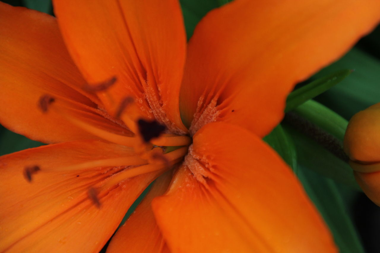 orange color, freshness, flower, petal, beauty in nature, growth, flower head, fragility, nature, close-up, no people, full frame, backgrounds, outdoors, blooming, day, day lily