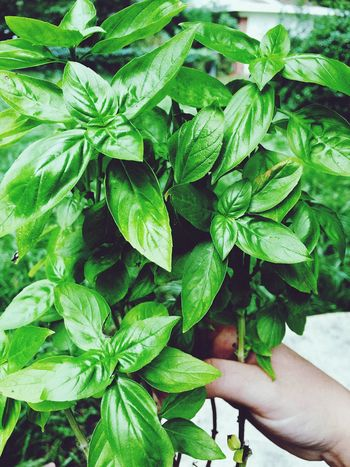 Aesthetically Pleasing 🌿 Leaf Human Hand Green Color One Person Real People Human Body Part Growth Close-up Outdoors Nature Freshness Day Tree Adults Only People Basil Beauty In Nature Bestoftheday Iphonephotography IPhoneography IPhone Nature Growth