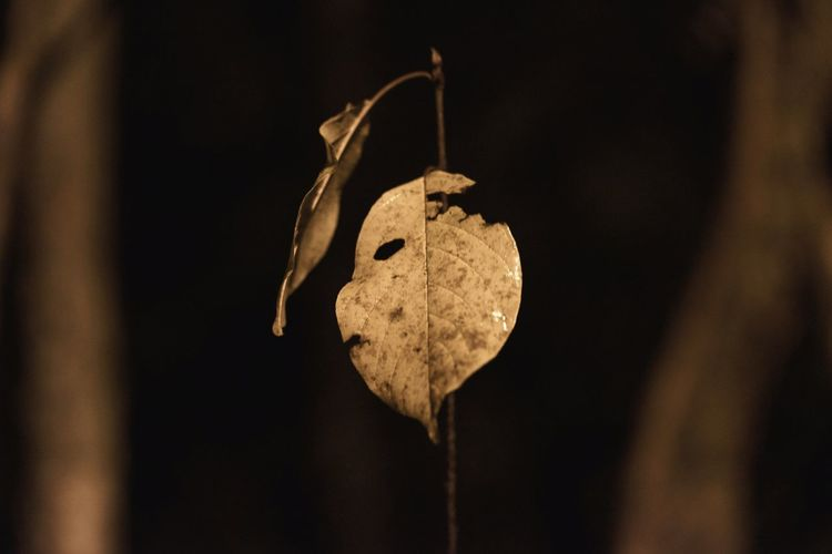 Autumn leaf, hanging in there, refusing to surrender to the ground.. Autumn EyeEm Selects EyeEm Best Shots EyeEm Nature Lover EyeEm Gallery Forest Hanging Close-up Weathered Deterioration Bad Condition Broken