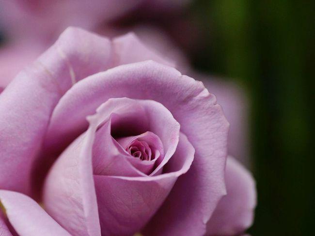 バラ 薔薇 こんにちは
