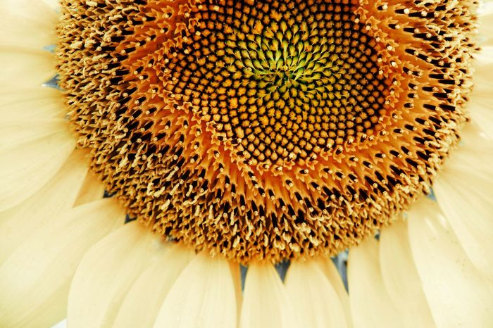 Sunflower Head Yellow Nature Close-up Flower Head Flower Close-up Sunflower Sunflower Seed Pollen Full Frame Blooming Petal