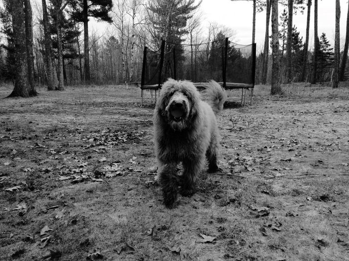 Close-up of goldendoodle standing on field