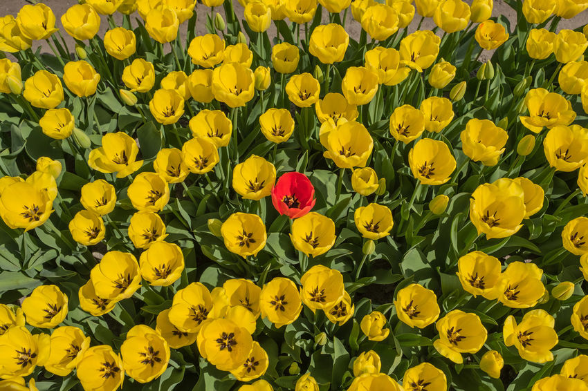 Bollenstreek, Tulip Wonderland Field Nature Red Yellow Flower Colours Of Nature Flower Outdoors Red Flower Spring Tulip Yellow