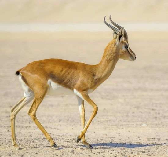 Side view of antelope standing against blurred background
