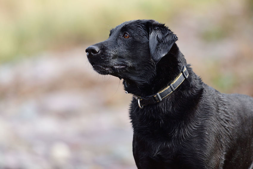 Check This Out EyeEm Best Shots EyeEm Nature Lover Labrador Nature Taking Photos Animal Themes Black Labrador Close-up Cute Day Dog Domestic Animals Enjoying Life Focus On Foreground Labrador Retriever Nature_collection No People One Animal Outdoors Pets Portrait Selective Focus Wet Wet Dog