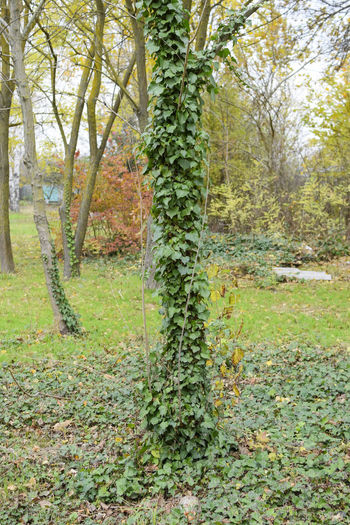 Ivy grows on the trunk of a tree. The plant is a parasite. Ivy poisonous, ivy ordinary Nature Plant Tree Bush Climbing Freeloader Grows Ivy Parasite Poisonous Trunk