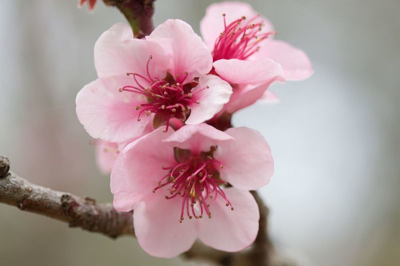 Flower Fiore Montefasce Primavera Spring Pesco Peach
