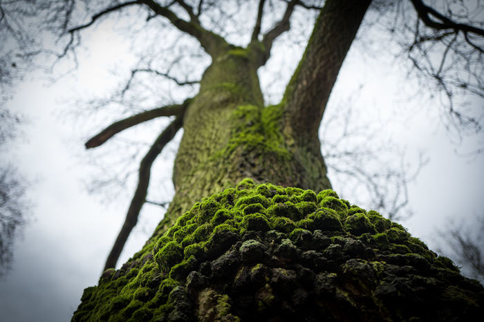 Green tree in Frankfurt Frankfurt Green Beauty In Nature Branch Close-up Day Focus On Foreground Forest Green Color Growth Grueneburgpark Lichen Low Angle View Moss Nature No People Outdoors Sky Tranquility Tree Tree Trunk