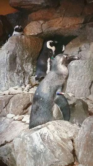 Peguin Peguins