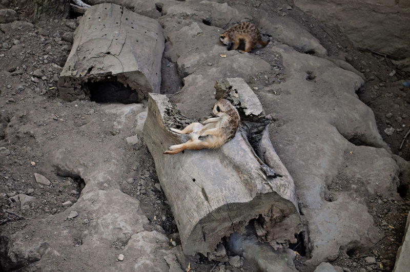 Meerkat laying on the wood at the Zoo Animal Animal Themes Animal Wildlife Animals In The Wild Day Full Length High Angle View Land Laying Laying On The Back Mammal Meerkats Nature No People Outdoors Rock Rock - Object
