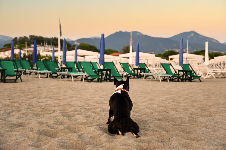 Rear view of black and white french bulldog sitting on an empty beach at sunset, forte dei marmi, t