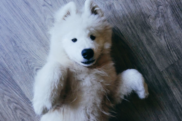 Animal Themes Close-up Day Dog Domestic Animals High Angle View Looking At Camera Mammal No People One Animal Outdoors Pets Portrait Samoyed