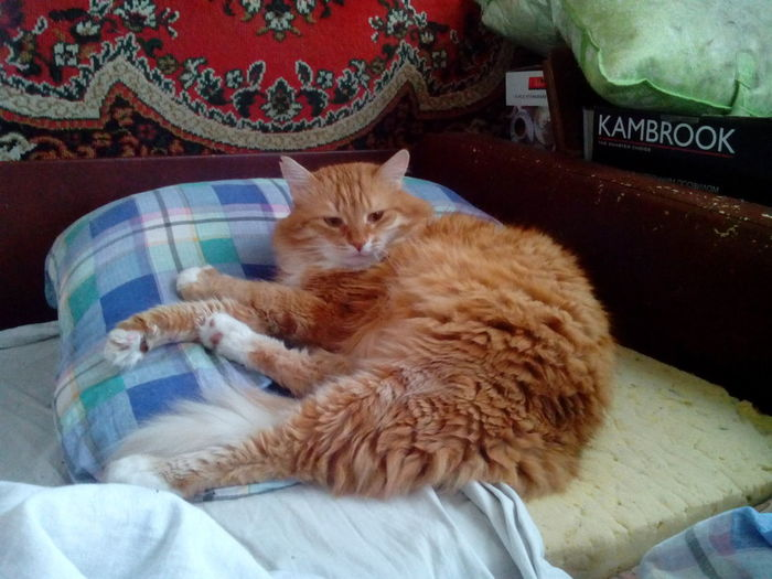 Pets Feline Domestic Cat Kitten Relaxation Bedroom Close-up Ginger Cat Maine Coon Cat Whisker Pet Bed Cat Quilt Fluffy Home Animal Face Domestic Animals At Home Couch Sleeping Adult Animal Pillow Yellow Eyes Sheet Carnivora