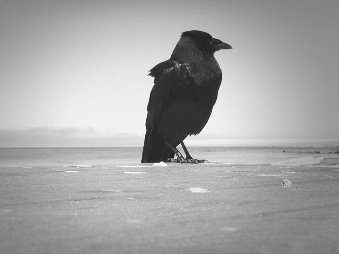 Close up of crow