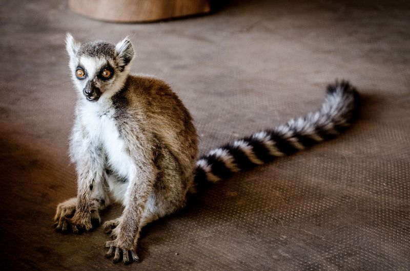Portrait of lemur sitting on floor