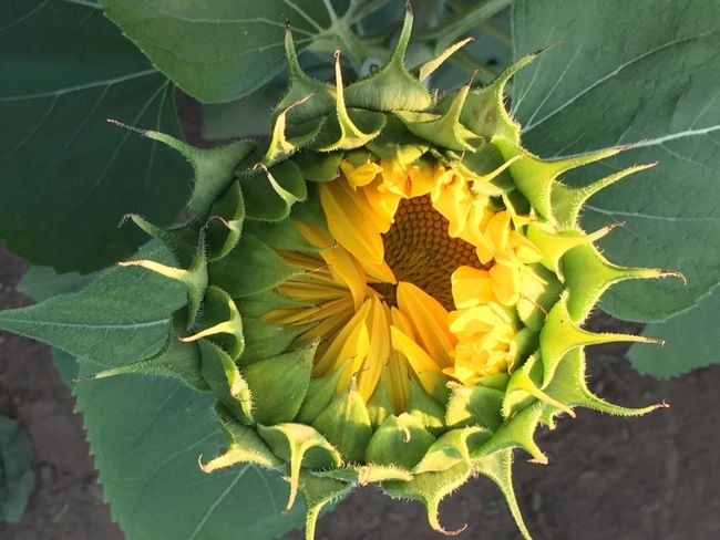 Sunflower Bud. Flower Leaf Fragility Freshness Nature Beauty In Nature Growth Plant Close-up Petal Flower Head Outdoors Yellow Day No People Sunflower