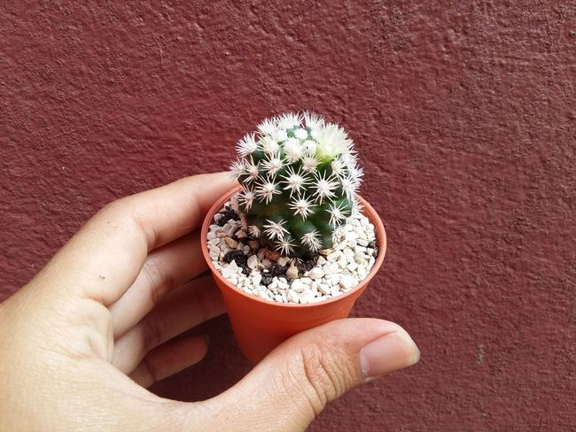 Cactus Cactus Garden Cactus Flower Cactus Flowers Cactus Plant Cactuses Snowcap Cactus Collection Cactus Flower Photos Cactus Paradise Cactusclub Cactuscollection Cactuslove Cactuslover Cactusplants Flower Flower Collection Flower Head Flowers Portrait Pot