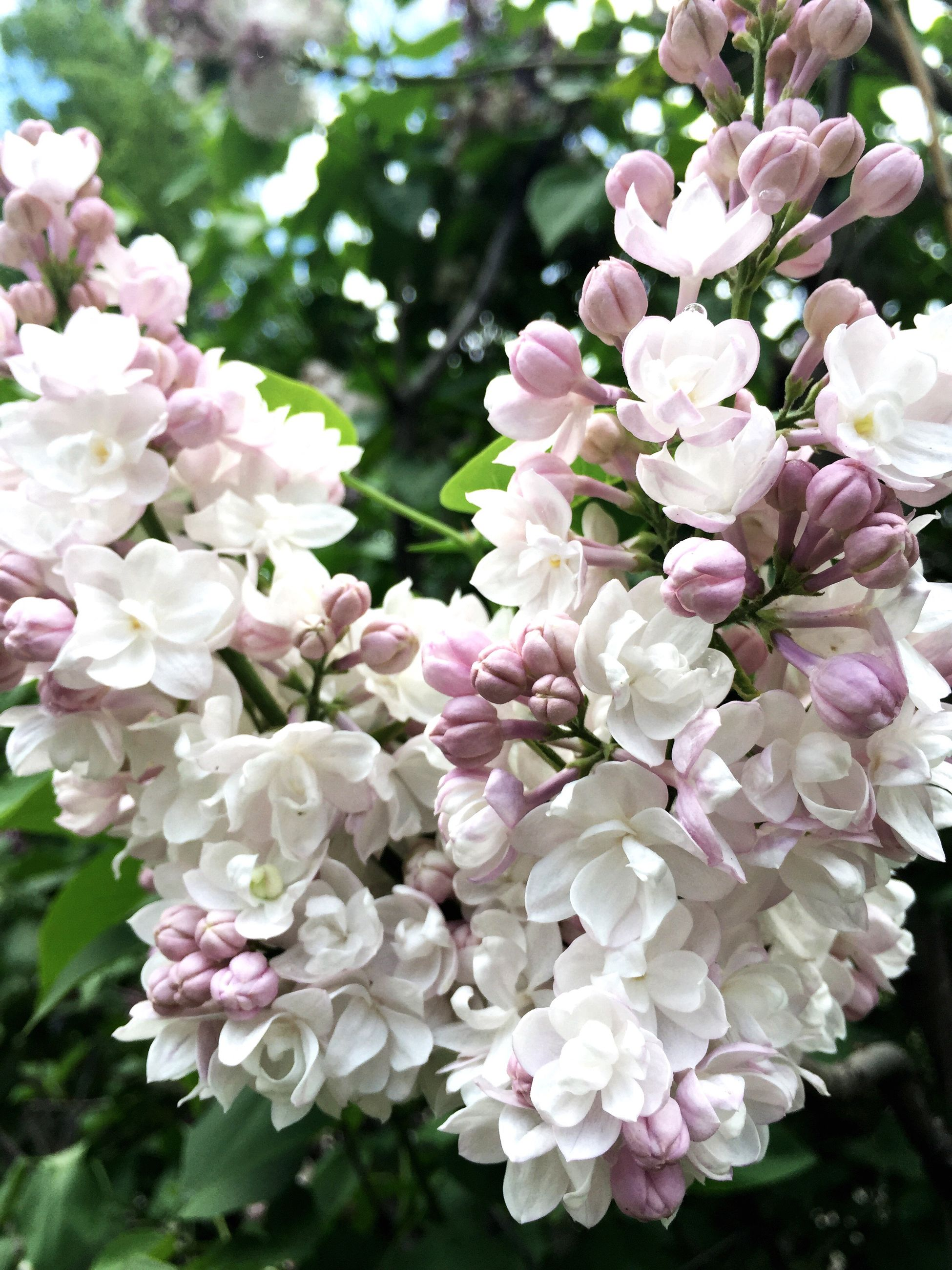 flower, freshness, fragility, petal, growth, beauty in nature, pink color, flower head, nature, close-up, focus on foreground, blooming, blossom, in bloom, park - man made space, bunch of flowers, botany, white color, plant, cherry blossom