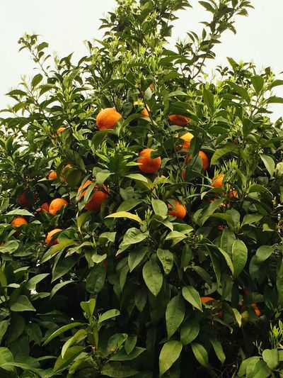 Sour Orange Tree Tree Trees Fruit Fruits Tree And Sky Trees And Sky Traveling Travel Travel Photography IPhoneography Iphonephotography