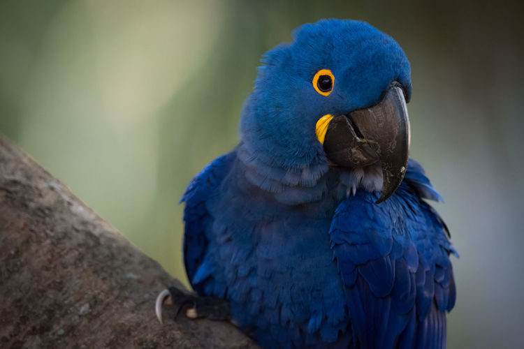 Animal Themes Animal Wildlife Animals In The Wild Beak Bird Blue Close-up Day Gold And Blue Macaw Hyacinth Macaw Macaw Nature No People One Animal Outdoors Parrot