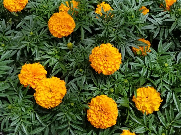 Flower Growth Beauty In Nature Nature Freshness Fragility Orange Color Petal Flower Head High Angle View Outdoors Marigold Plant Blooming No People Yellow Day Field Close-up Merigold