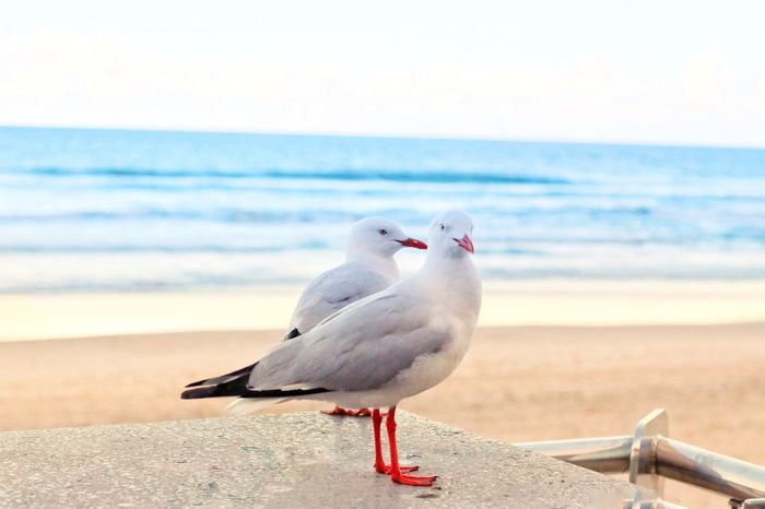 Black-headed gull bird are commonly seen at the beach. Sea Beach Animal Themes Bird Horizon Over Water Nature One Animal Focus On Foreground No People Perching Sand Animal Wildlife Scenics Beauty In Nature Day Water Outdoors Animals In The Wild Shore Seagull