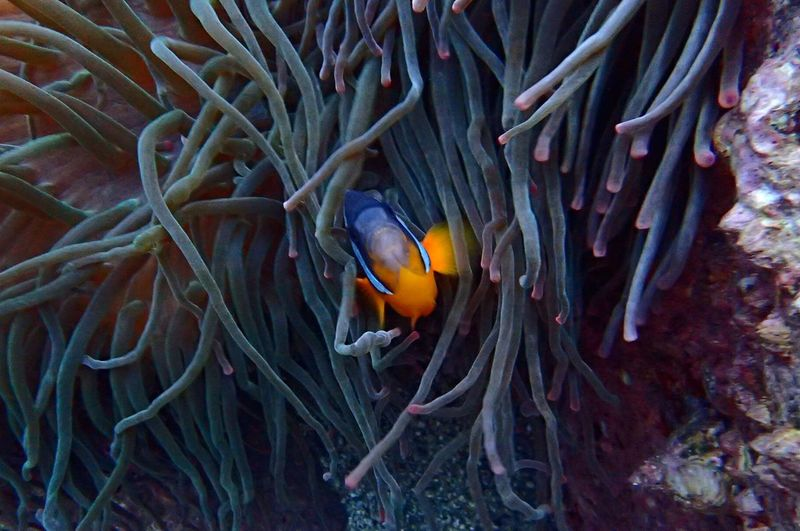 UnderSea Underwater Sea Life Clown Fish Fish Coral Animal Wildlife Animals In The Wild Animal Themes Sea Nature Sea Anemone Close-up Outdoors Beauty In Nature Swimming No People One Animal Symbiotic Relationship