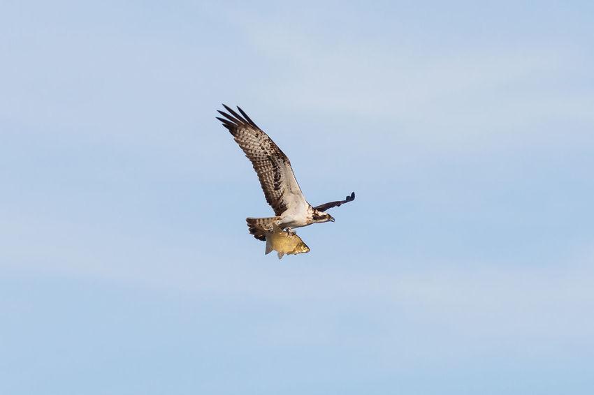 Fischadler Bird Of Pray Eagle Eagle - Bird Eagles Fischadler Fish Eagle Fish Hawk Greifvogel Hawk Hawks Pandion Haliaetus Pandionidae Raubvogel Wild Wildlife Wildlife & Nature